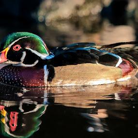 mandarin duck by Ikhsan Gembezt - Animals Birds