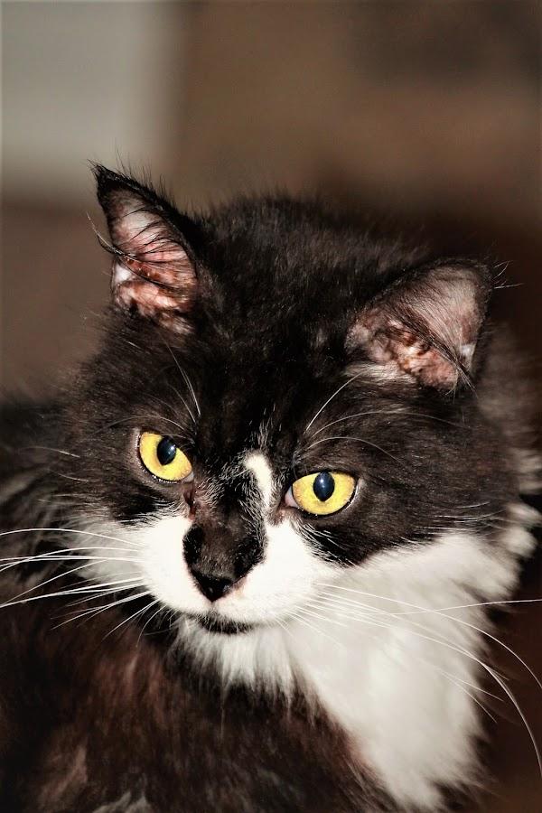 by Linda Tatler - Animals - Cats Portraits (  )