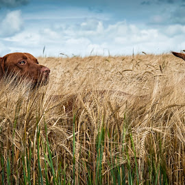 Red by Anthony Wood - Animals - Dogs Playing ( field, hungarian vizsla, dog )