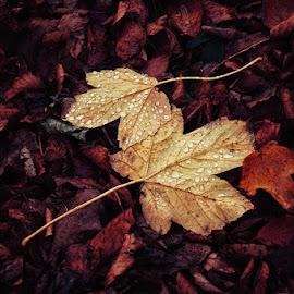20171119-DSC_4208 by Zsolt Zsigmond - Nature Up Close Leaves & Grasses ( two, november, autumn, drops, leaf, leaves )