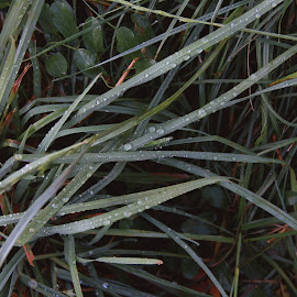 The morning after a rainy night by Laura Foris - Nature Up Close Leaves & Grasses ( water drops, grass, green, raindrops, leaves )