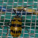 Meristata Leaf Beetle