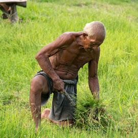 RIce Farmer by Doug Faraday-Reeves - People Street & Candids ( rice, farmer, indonesia, paddy )