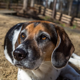 Newton - Our Rescue-pup by Mark Streit - Animals - Dogs Portraits ( mixed breed, dogs, pet, hound, pup, rescue, beagle )