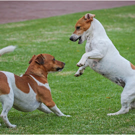 Jack Russels by Dirk Luus - Animals - Dogs Playing ( playing, jack, dogs, russels, pets )