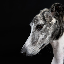 Diva by Jen St. Louis - Animals - Dogs Portraits ( profile, portrait, dog, whippet,  )