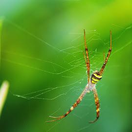 Spider by Rahul Radhakrishnan - Nature Up Close Webs ( sharp, nature, green, kerala, spider )
