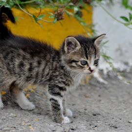 Kitten by Cengiz Tasci - Animals - Cats Kittens ( cats, kitten, cat, outside, animal )