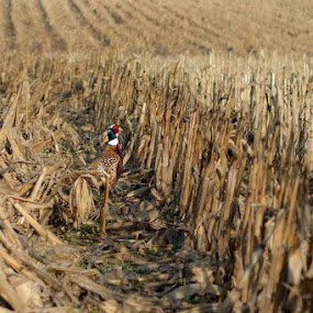 cut corn by Matthew Lindsey - Landscapes Prairies, Meadows & Fields ( pheasant in field, field, bird, bird in field, pheasant, corn )