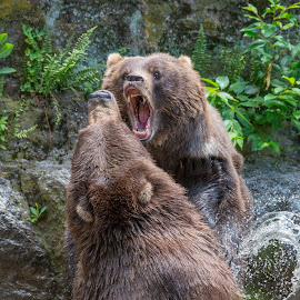 Brown Bears by John Sinclair - Animals Other ( grizzly, brown bear )