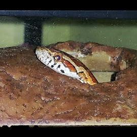 My Mason snake has got out and is MIA 😢😢😢😢 x by Helen Andrews - Animals Reptiles