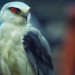White Eagle 4 by Dimas N - Animals Birds