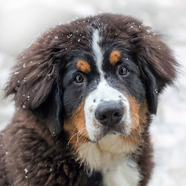 First Snow by Sue Matsunaga - Animals - Dogs Portraits