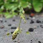 Indian Rose Mantis / Violin Mantis