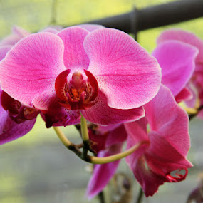 Orchid Flowers by Joseph Basukarno - Nature Up Close Flowers - 2011-2013 ( canon, orchid, orchid flowers, flowers )