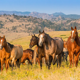 by Erin Schwartzkopf - Animals Horses ( pasture, mountain, horses, wyoming, horse )