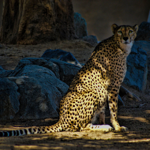 Cheetah (2).jpg