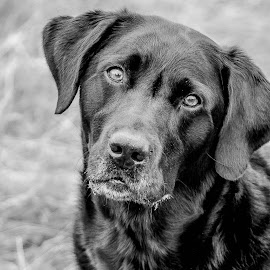 Bouncer by Maria Fetherstone - Animals - Dogs Portraits ( canine, dogs, black and white, pet, labrador, portrait, eyes )