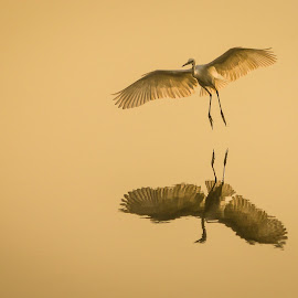 Reflection by Gaurav Madhopuri - Novices Only Wildlife ( water, bird, life, nature, fly, wildlife, air, egret, sun )