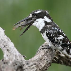 Pied Kingfisher Pilanesberg_0676.JPG