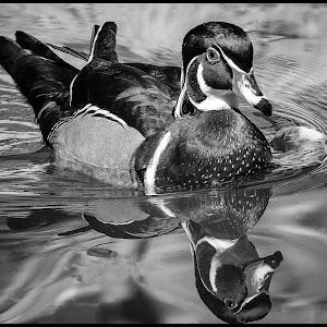 Wood Duck-38.jpg