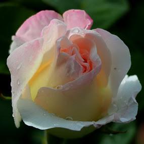by Carmen Baltianu - Flowers Single Flower
