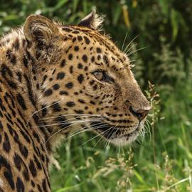 artur by Garry Chisholm - Animals Lions, Tigers & Big Cats ( garry chisholm, nature, leopard, bigcat )