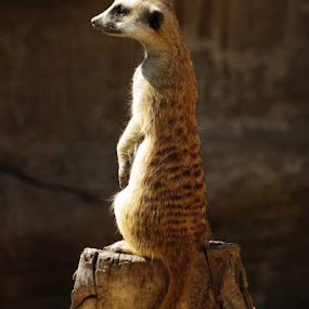 Standing Guard by Jack Powers - Animals Other Mammals ( meerkats )