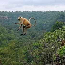 Adventure Jump ! by Prithvi Rajawat - Animals Other ( adventure, monkey, rocks, nature, hills, animal, valley, india, trees, landscape, jump, wildlife )