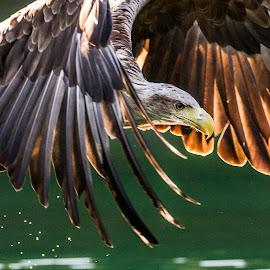 Sea eagle by Dennis Hallberg - Animals Birds ( eagle, sea eagle )