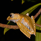 File-Eared Tree Frog / Borneo Eared Frog