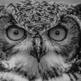 Hypnotic by Garry Chisholm - Black & White Animals ( raptor, owl, bird of prey, nature, garry chisholm )