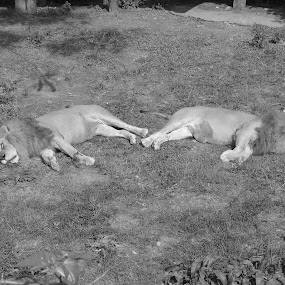 Pooped Out by Nathaniel Bennett - Animals Lions, Tigers & Big Cats ( asleep, zoo, black & white, lions, sleeping )