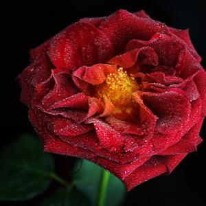 DSC_7150-Rose.jpg