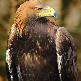 La tête dans les épaules by Gérard CHATENET - Animals Birds