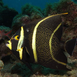 Juvenile French Angelfish by David Gilchrist - Animals Fish ( juvenile french angelfish, underwater, fish, angelfish, animal, sea creatures, underwater life, ocean life,  )