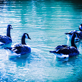 TWILIGHT by Debra Singleton - Novices Only Wildlife ( water, nature, color, wildlife, geese )