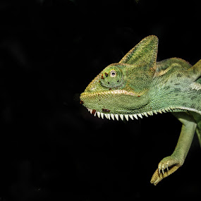 on the prowle by Kate Anthony - Animals Reptiles ( black background, lizard, green, chameleon, solid background )