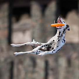 Coming back to Medieval atmosphere by Claudio Piccoli - Animals - Dogs Playing ( workshop, dogs, dogsinaction, dalmatian, nikoon, catchingdogs, claudiopiccoli, d5, jump, playing, actiondogs, flying, discdog, flyingdogs, claudio, action, castle, medieval, piccoli, frisbee, jumpingdogs )