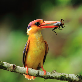 Oriental Dwarf Kingfisher by Upendra Sonarikar - Animals Birds ( odkf, jewel of kokan, maharashtra, bird photography, chiplun )