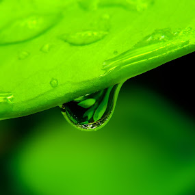 Drop of water falling from green leaf by Shahril Khmd - Nature Up Close Leaves & Grasses ( nobody, vertical, bright, drop, dew, purity, brightly, falling, beauty, leaf, space, spring, vein, photography, colour, tranquil, macro, backlit, clean, nature, conservation, dripping, transparent, black, rain, copy, lit, water, flora, lush, green, backgrounds, close-up, environmental, liquid, environment, color, zen, scene, summer, freshness, sparse )