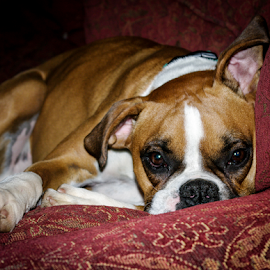 Rocky by Myra Brizendine Wilson - Animals - Dogs Portraits ( rocky on sofa, dog on sofa, dogs, rocky, boxer, pet, pets, boxer dog, dog, boxer breed,  )