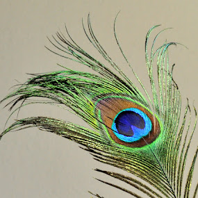Feather by Anika McFarland - Nature Up Close Other Natural Objects ( colorful, colorful peacock feather, peacock feather, colorful feather, feather,  )