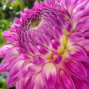 dhalia by Tracey Dolan - Flowers Single Flower