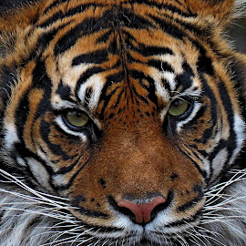 by John Harbach - Animals Lions, Tigers & Big Cats ( big cat, face, tiger eyes, tiger,  )