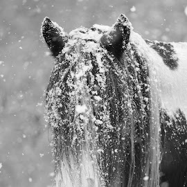 Snow?What Snow? by Christy Berry - Animals Horses ( farm, ranch, horse, equipment, hair, gypsy )