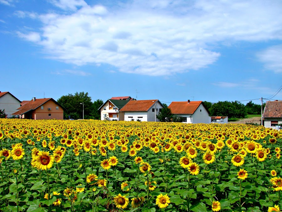A Field of Sunflowers by Ivan Mendes - Landscapes Prairies, Meadows & Fields ( sky, beautiful, green, field, blue, yellow, houses, day, sunflower )