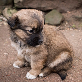 adorable little puppy by Ioana Rusu - Animals - Dogs Puppies ( doggie, little puppy, little, adorable, puppy, dog )