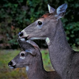 A Double look by Sue Delia - Animals Other ( look, wild, two, whitetail, double, deer )