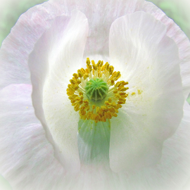 White Arctic Poppy by Tina Dare - Flowers Single Flower ( macro, close up, white flower, vignette, white, poppy, nature, plant, up close, white background, flower )